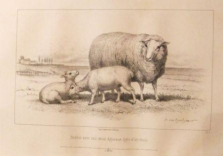 挿絵入り本 Bonheur - Considérations sur les bêtes à laine au milieu de XIXe siècle, et notice sur la race de la charmoise