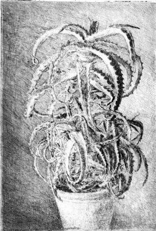 エッチング Barbisan - Pianta grassa